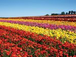 Carlsbad Ranch Flower Fields Feature 50 Acres of Ranunculus Flowers March 1 through May 12